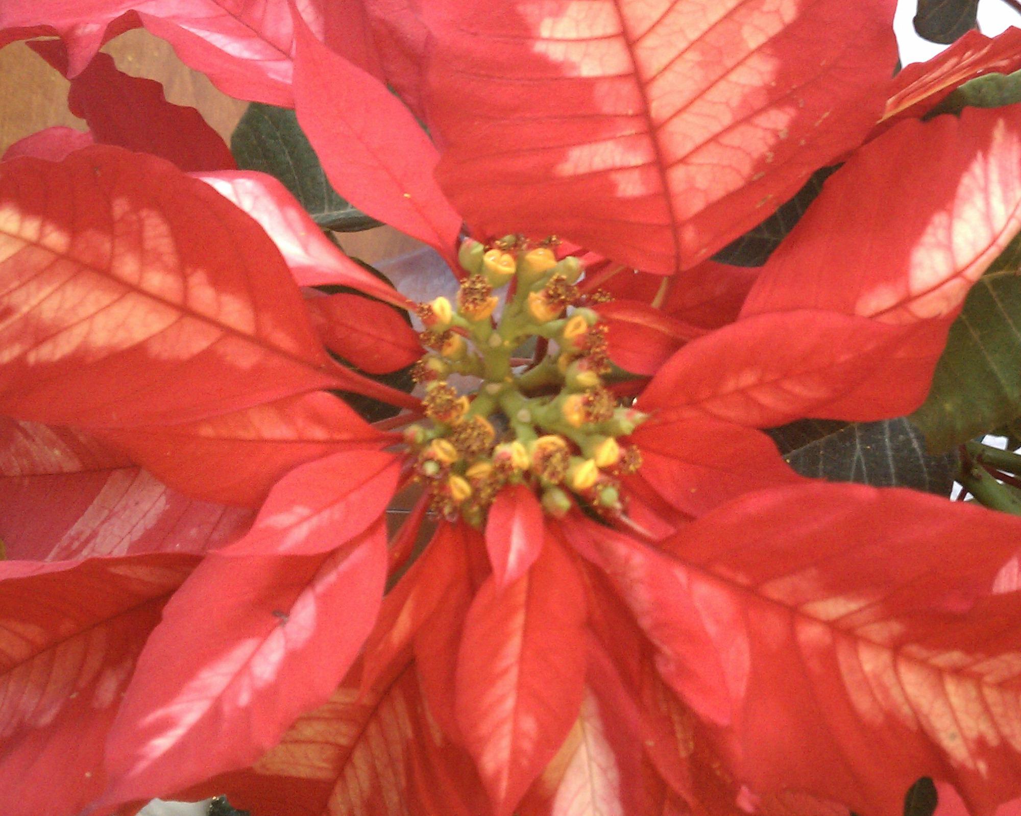poinsettia-history-blogpost Anne of Green Gardens