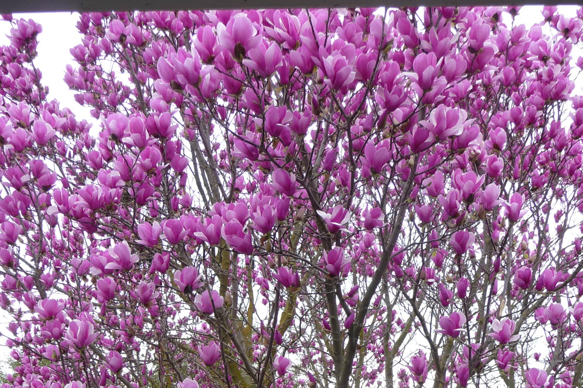 Magnolia blossoms blogpost