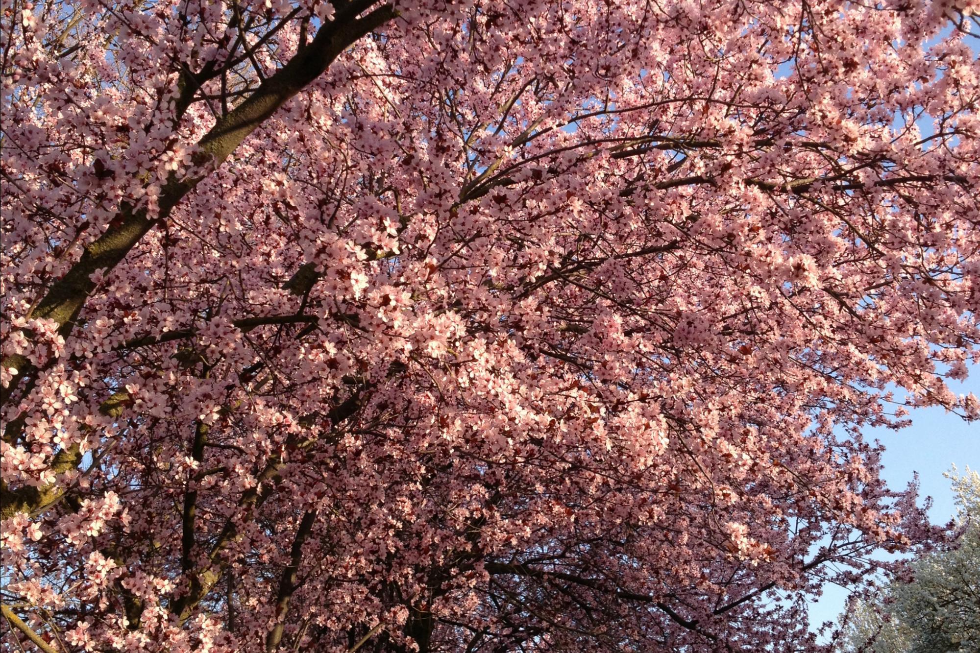 Flowering Plum blogpost
