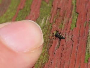 ladybug larva &finger