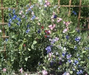 sweet pea flowers on trellis