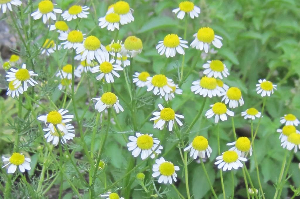 chamomile-Anne-of-Green-Gardens