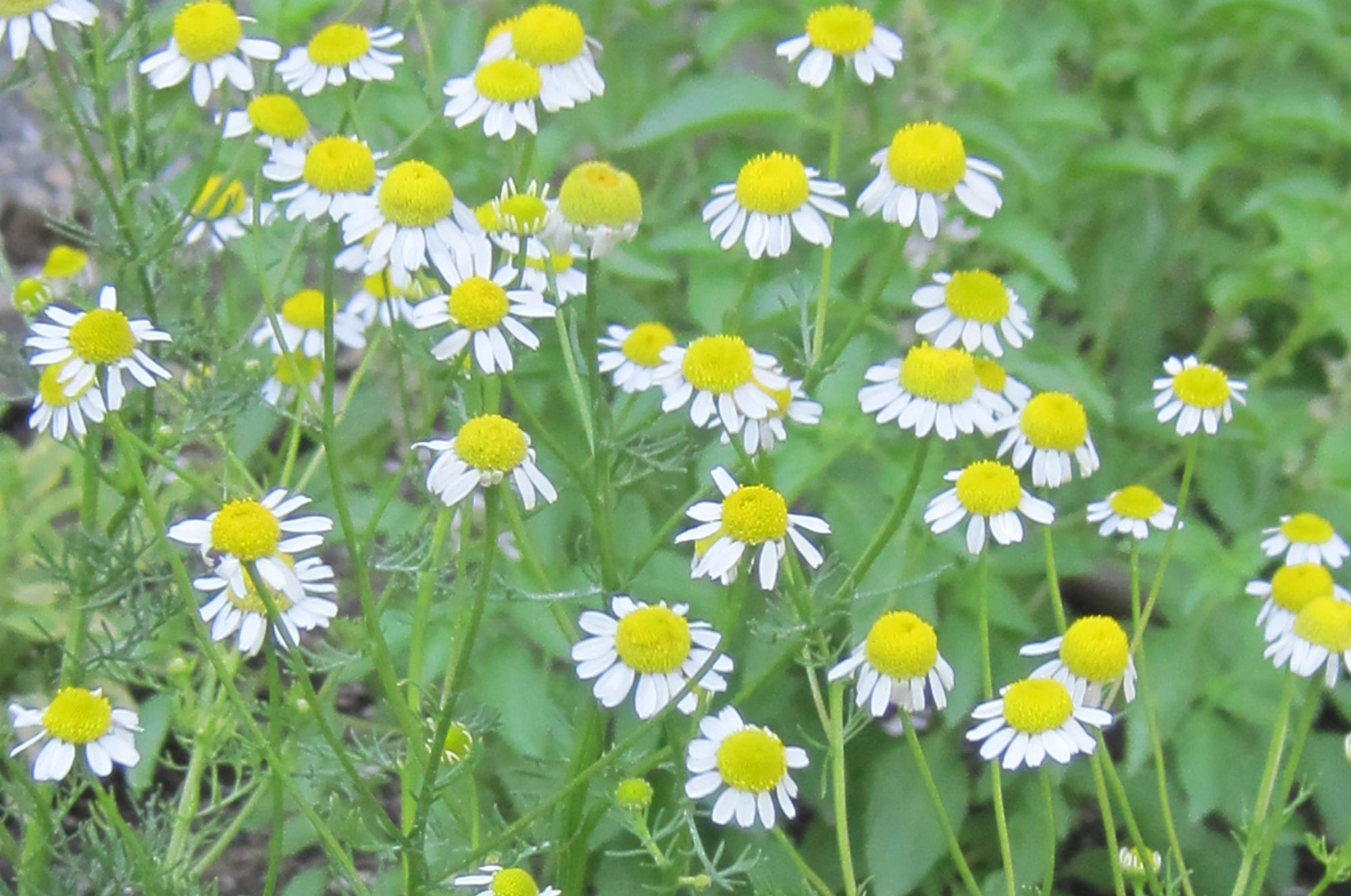 chamomile-Anne-of-Green-Gardens