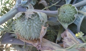 Datura seed pod