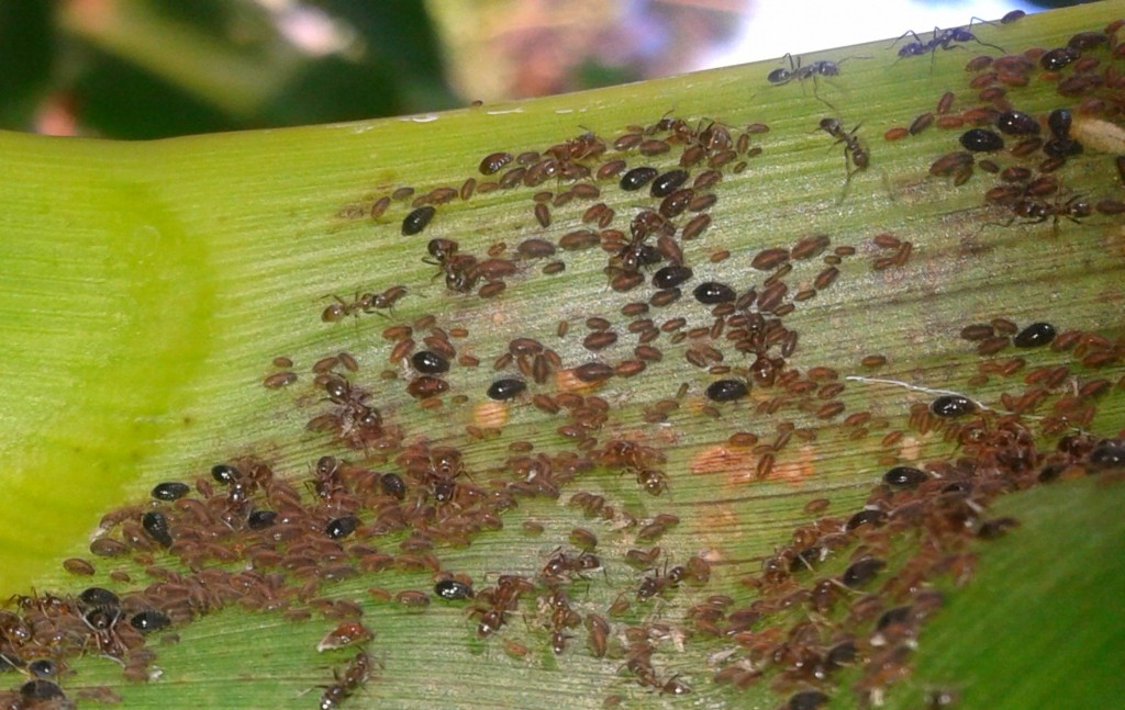Ants-on-corn-Anne-of-Green-Gardens