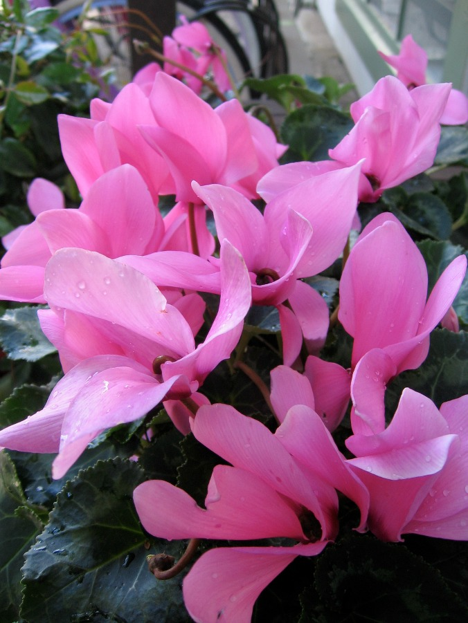 Pink cyclamen flowers. [H. Guenther]