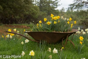 Daffodil Hill (Volcano, CA) by Lisa-Marie Pohl