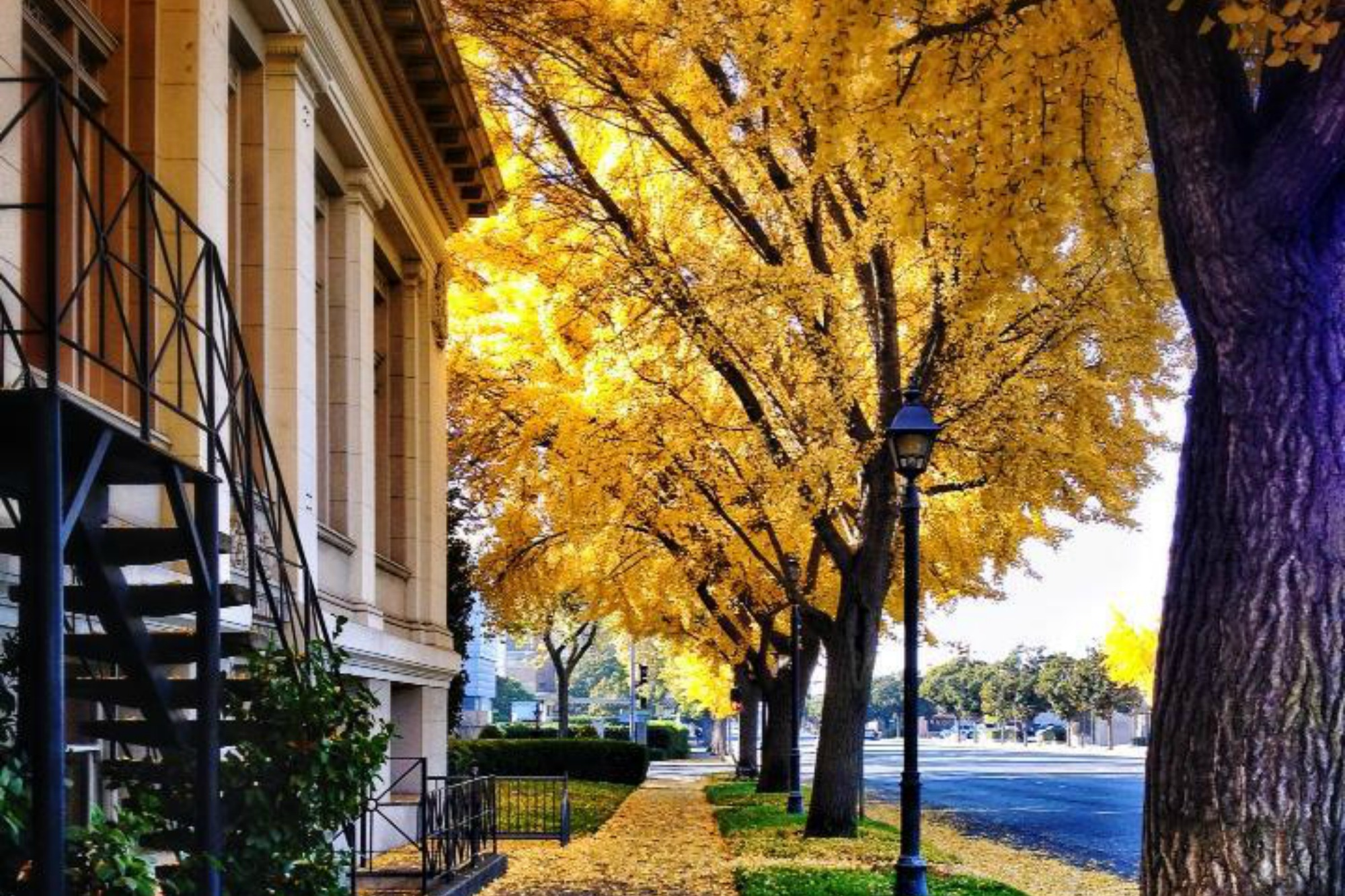 ginkgo trees in fall Anne of Green Gardens