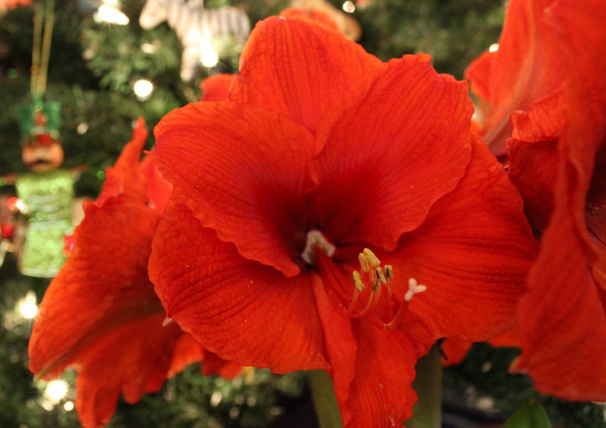 amaryllis Anne of Green Gardens
