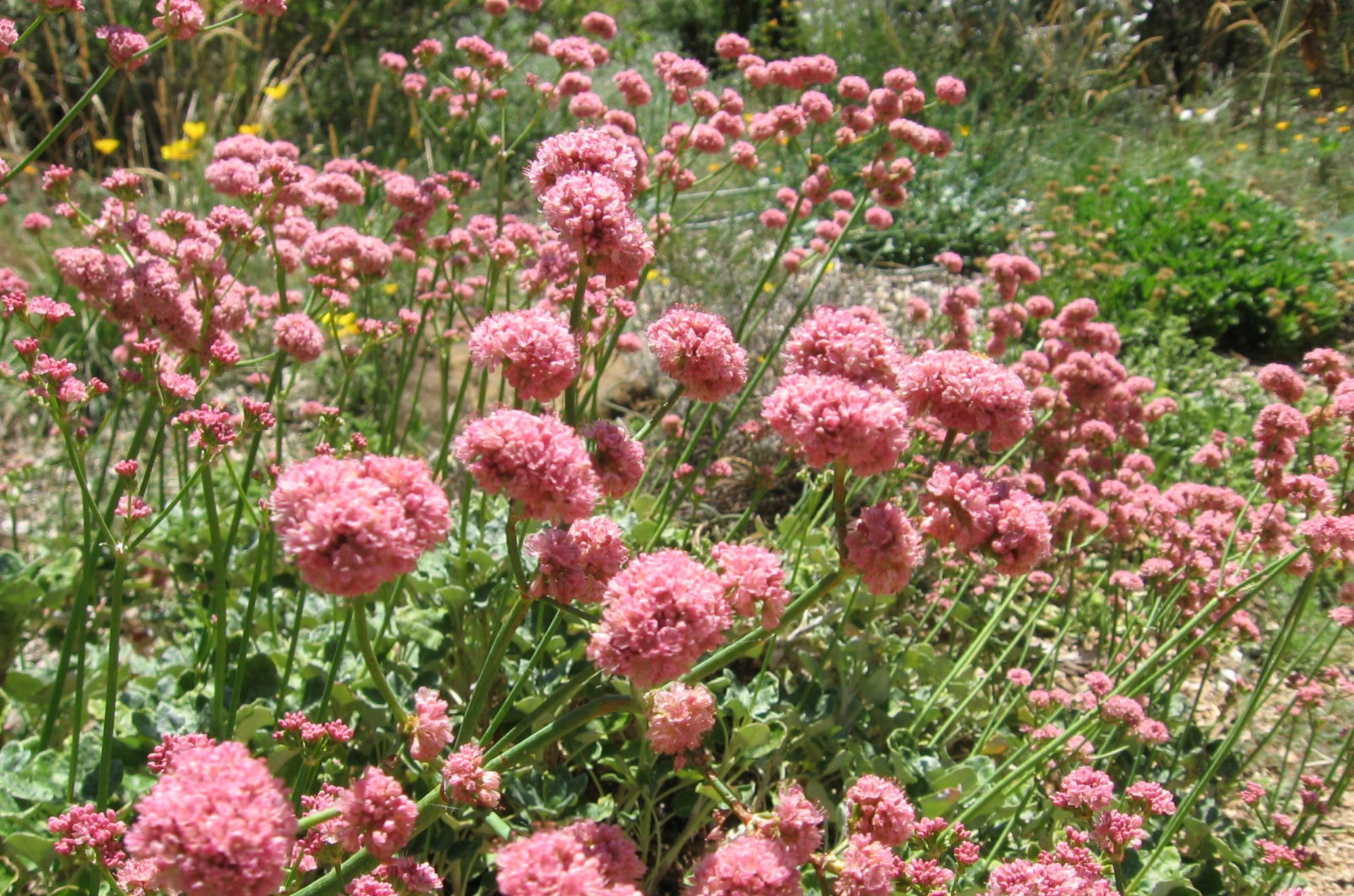 red-buckwheat-Anne-of-Green-Gardens