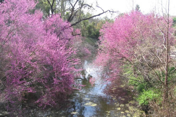 redbud trees Anne of Green Gardens