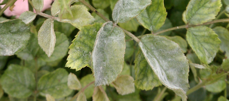 Powdery mildew disease  on a rose leaf, Anne of Green Gardens