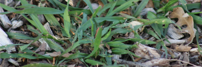 Weed growing, Crabgrass Banner for Anne of Green Gardens