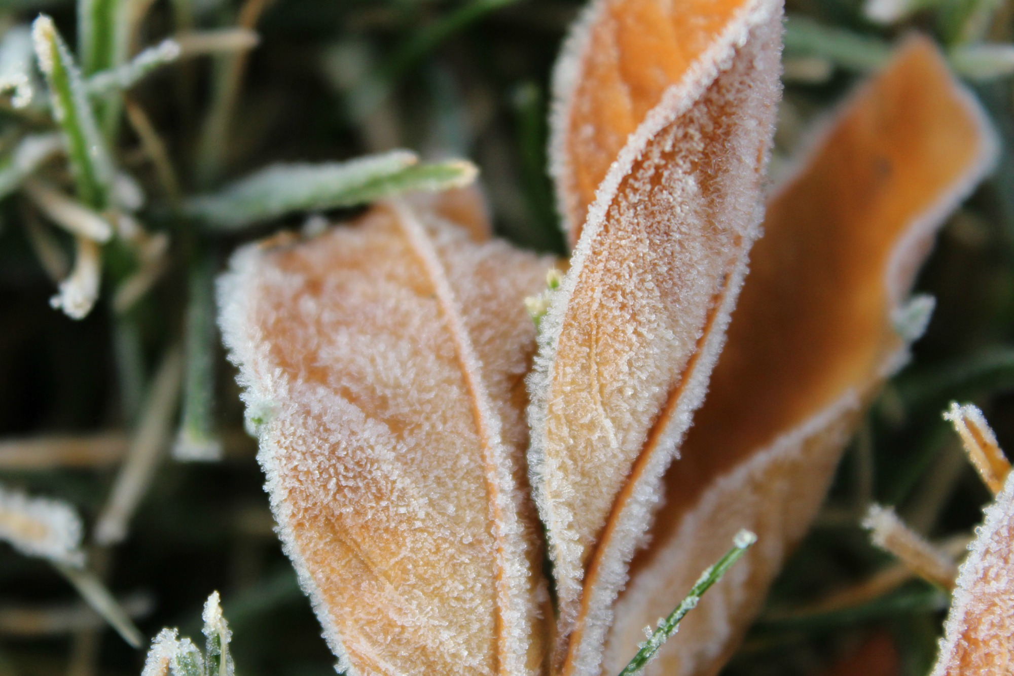 Frosted leaves winter Anne of Green-Gardens