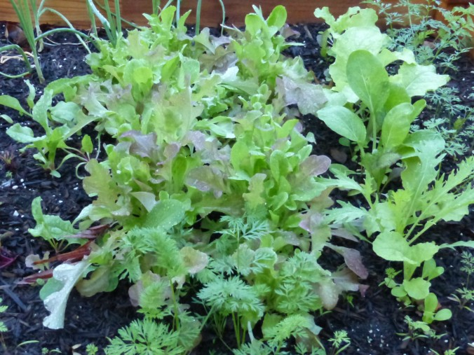lettuce-harvest-photo-video-Anne-of-Green-Gardens