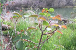 Poison oak when reddish.