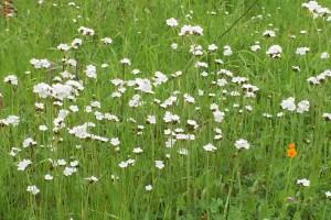 popcorn-flower-Anne-of-Green-Gardens