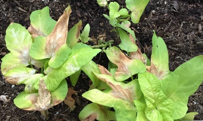 sunburn-on-ipomoea-Anne-of-Green-Gardens