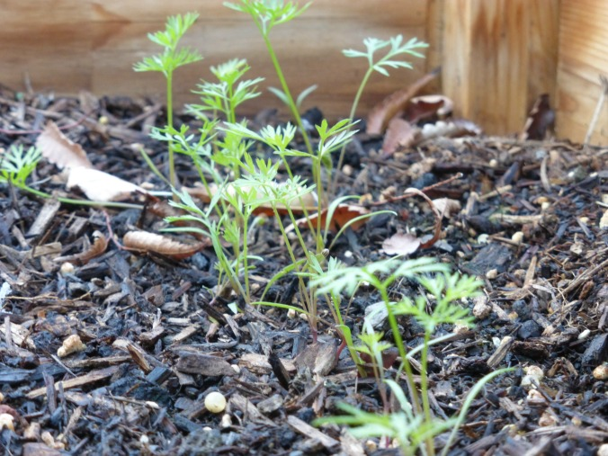 colorful-carrot-seedlings