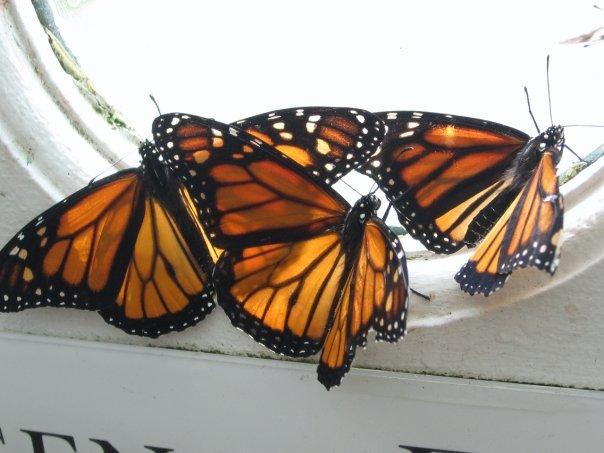 monarch-caterpillars-butterfly-exhibit SF