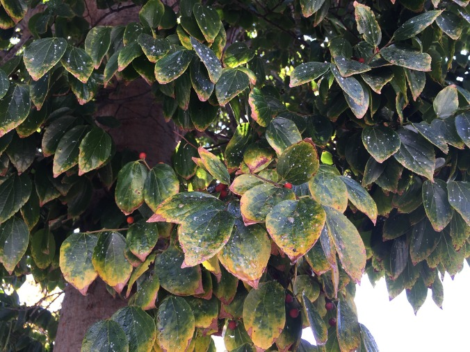 hackberry-drought-stress-Anne-of-Green-Gardens