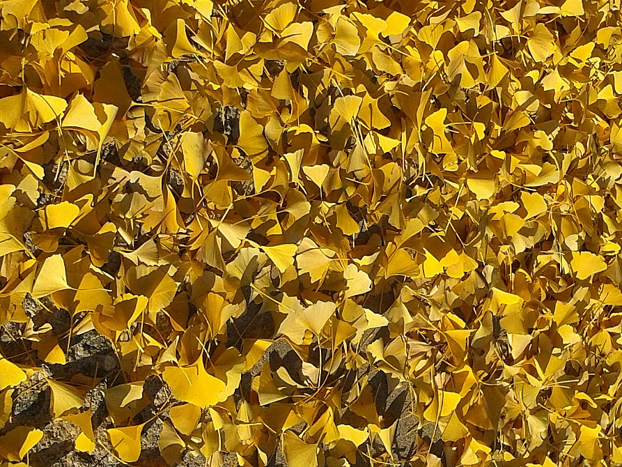 ginkgo-leaves-ground-anne-of-green-gardens