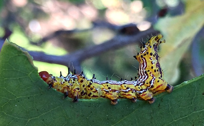 redhumped-caterpillar-Anne-of-Green-Gardens