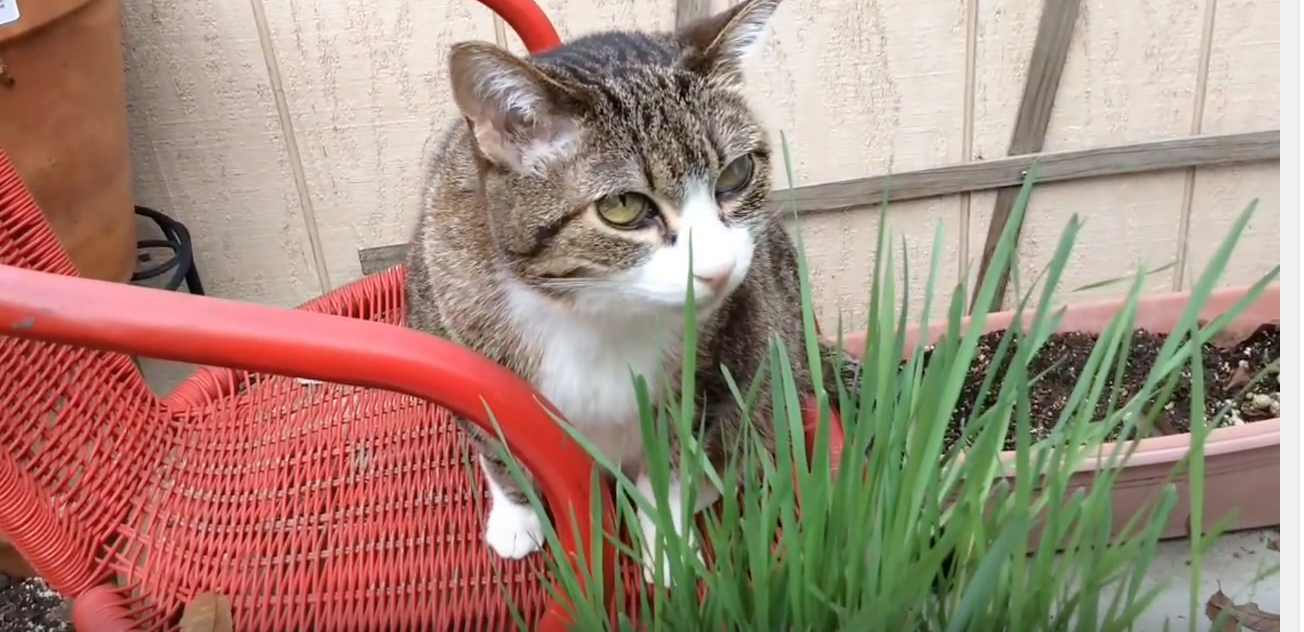Snuggles enjoys cat grass!