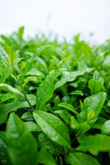 Tea plant.