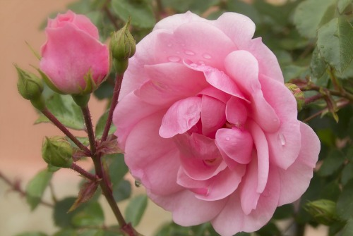 Scented rose bushes provide long-term cut flowers.