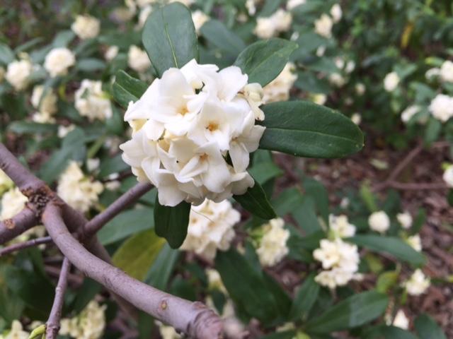 Daphne odora 'Alba'